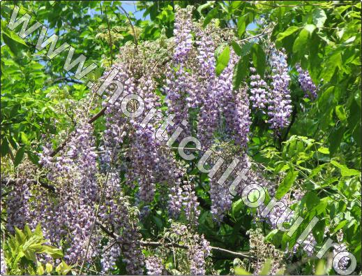 wisteria-sinensis-planta