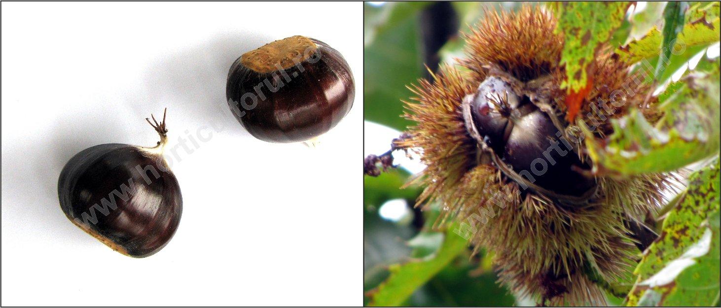 Castan bun (Castanea sativa)  - Fruct