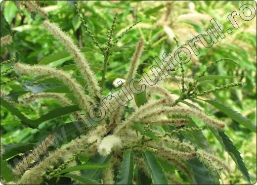 Castan comestibil_inflorescente-flori-Castanea sativa