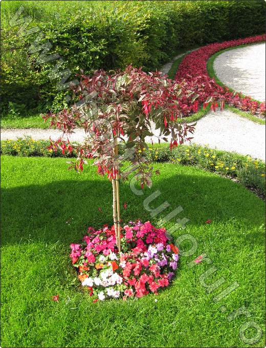 fuchsia-flori-gradina-peluza-poze