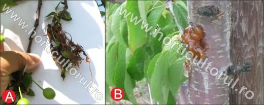 Monilioza la cires (A-flori, B-clei pe trunchi)