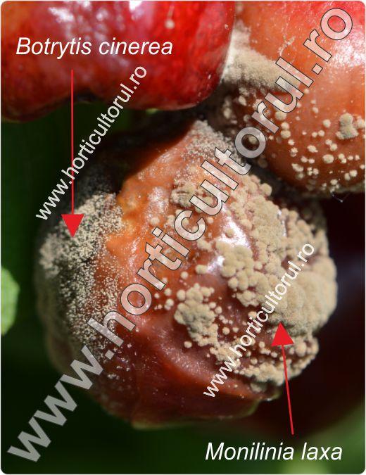 Fig. 4 Fruct atacat de Monilinia laxa & Botrytis cinerea
