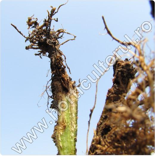 Mana de sol la tomate -Phytophthora parasitica-sectiune radacina
