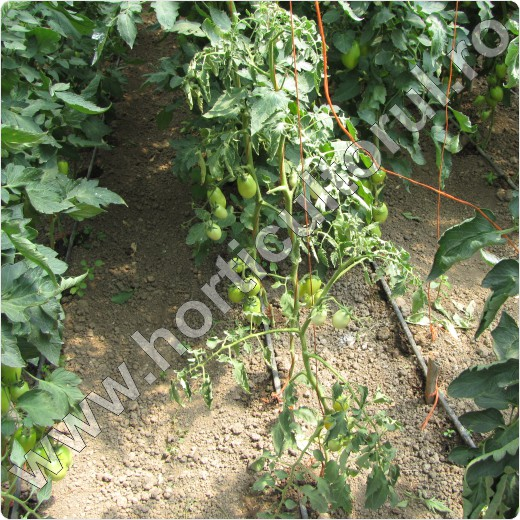Mana de sol la tomate -Phytophthora parasitica_planta