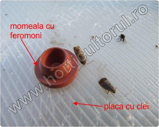 Viermele_merelor_capcana cu feromoni_3