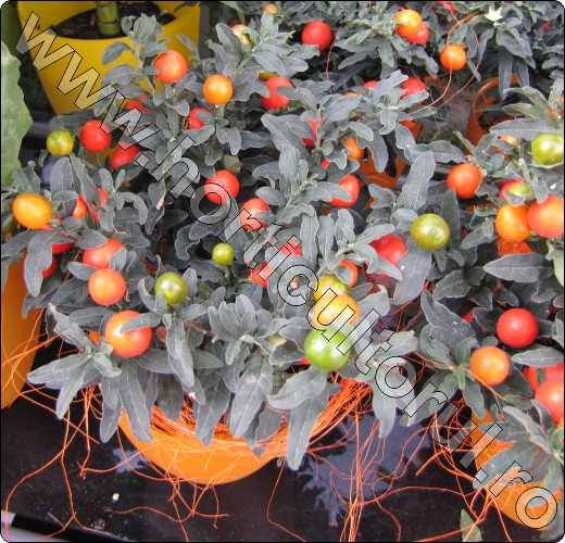 marul-iubirii-Solanum-capsicastrum