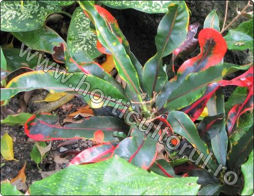Croton-Codiaeum-inmultire