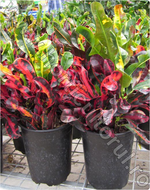 Croton-croton-red-mammey
