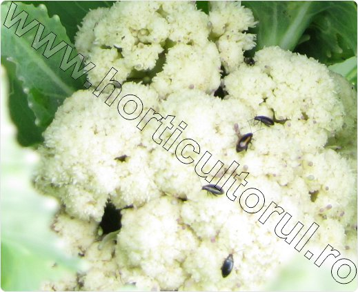 Phyllotreta-atra-Phyllotreta-nemorum