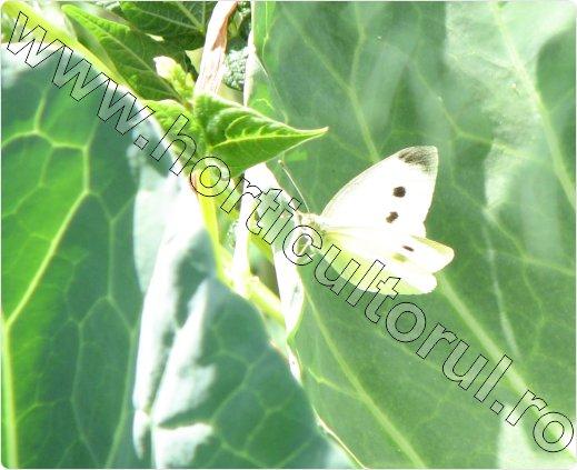 Fluturele-alb-al-verzei-