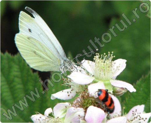 Pieris-brassicaeTrichodes-Apiarius
