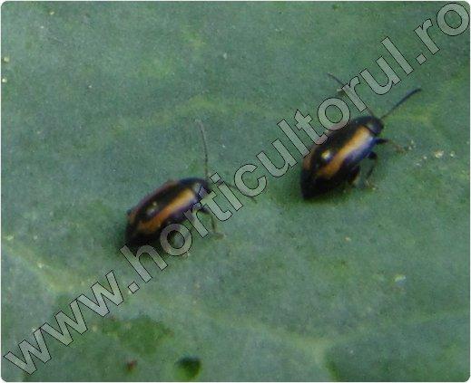 Puricele-vargat-al-verzei-Phyllotreta-nemorum