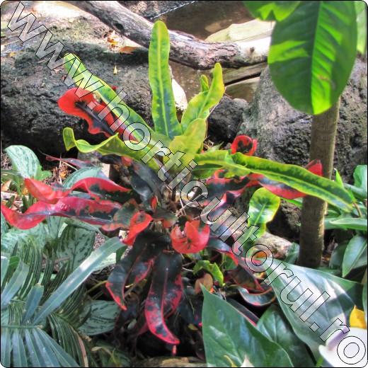 plante-ornamentale-prin-frunze-croton