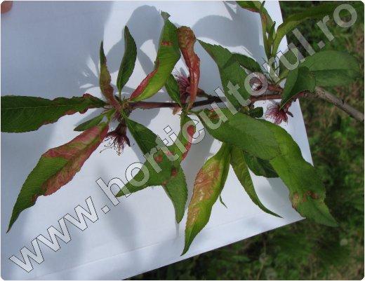 Basicarea-frunzelor