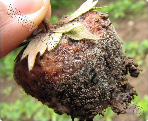 Fig. 1 Atac de putregai cenusiu pe fructele de capsun