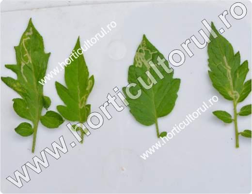 Musca miniera-minatoare americana -Liriomyza trifolii