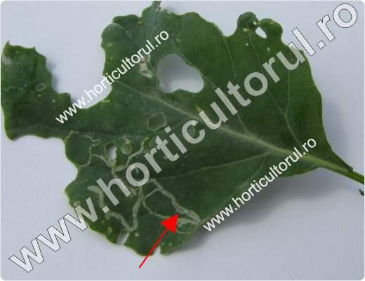 Fig. 5 Atac de Musca miniera americana (Liriomyza trifolii) la brocoli
