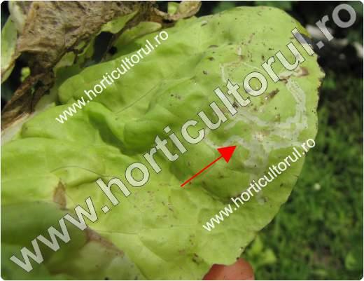 Musca miniera americana la salata -Liriomyza trifolii