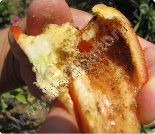 Fig. 4 Omida fructelor de ardei (Helicoverpa armigera) atac pe fructe de ardei