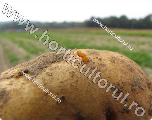 Tubercul cartof-