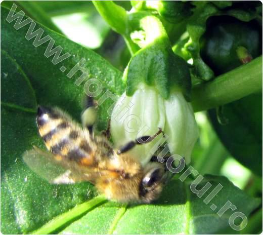 Ardeiul-polenizare entomofila-albina ardei