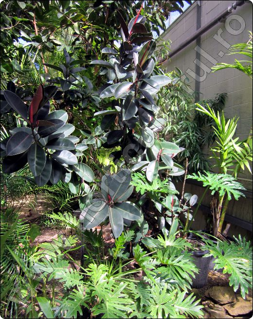 Ficusul-benjamin-variegat