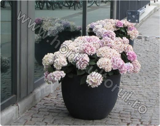 Fig. 4 Hortensie (Hydrangea hortensis)