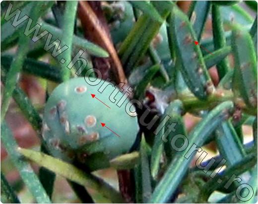 Paduchii-testosi-la-ienupar-comun-Juniperus-communis