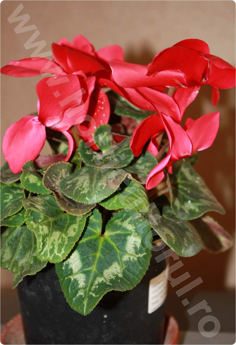 Cyclamen_rosu coray_1