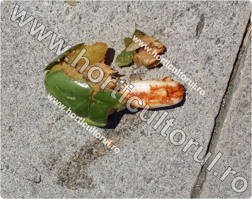 Curmalele-Phoenix dactylifera