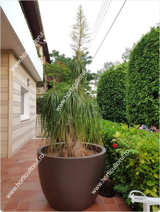 Arborele butelie-Beaucarnea recurvata_04