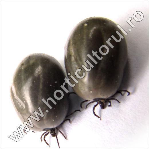 Capusele-Capusa-Borelia-combatere-insecticide_lyme-2