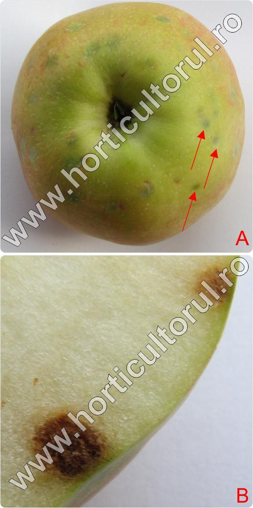 Carenta de Calciu-Bitter Pit sau Patarea neagra a fructelor de Mar_2