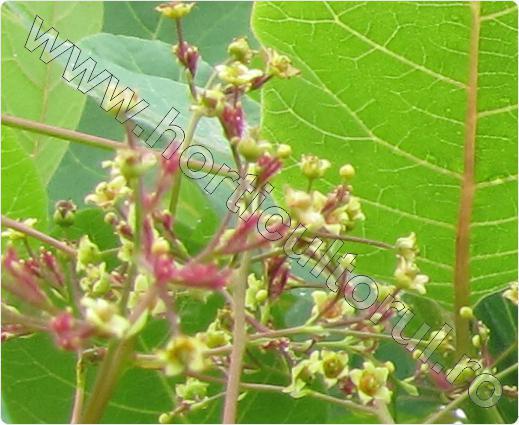 Scumpie (Cotinus Coggygria)