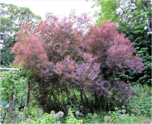 Cotinus coggygria 'Royal Purple' - Scumpie - Arbust