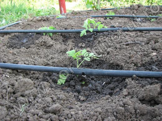 Irigarea legumelor prin picurare_functionare