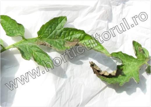 Mana la tomate-rosii-phytophtora infestans_4