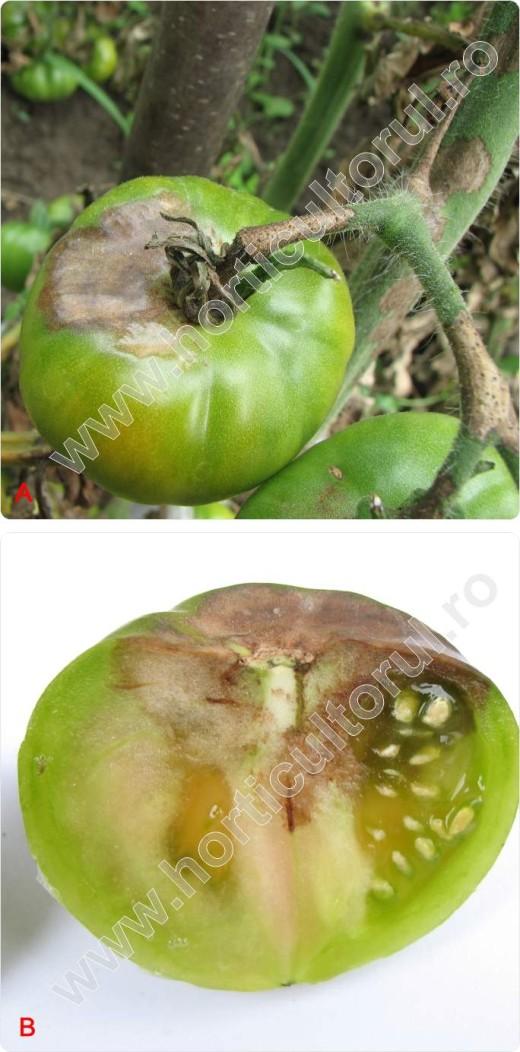 Mana la tomate-rosii-phytophtora infestans_6