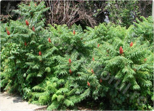 Otetar rosu -Rhus typhina-arbust_2
