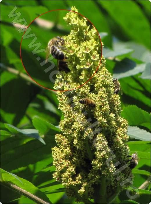 Otetar rosu -Rhus typhina-arbust_floare_polenizare de albina