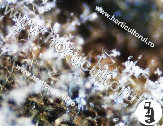 Fig. 7 Phytophthora infestans, conidiofori cu conidii