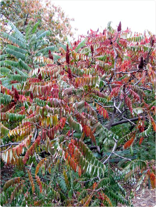 Otetar rosu rhus typhina for Plante decorative