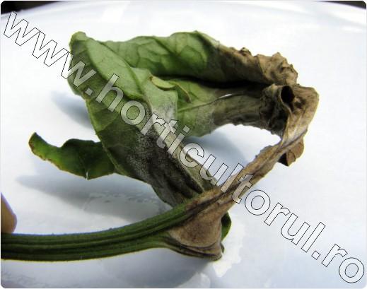 phytophtora-infestans