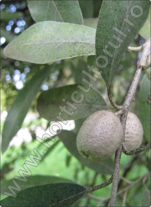 Elaeagnus-angustifolia-fructe