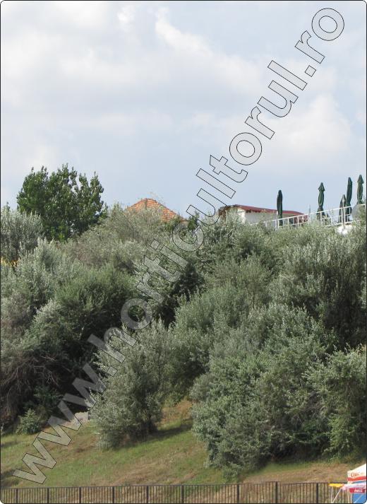 Elaeagnus-angustifolia-salcie-mirositoare