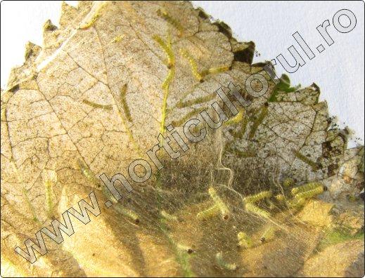 Omida paroasa a dudului-Hyphantria cunea_2