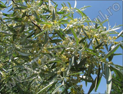 Salcioara sau Salcie mirositoare (Elaeagnus angustifolia)