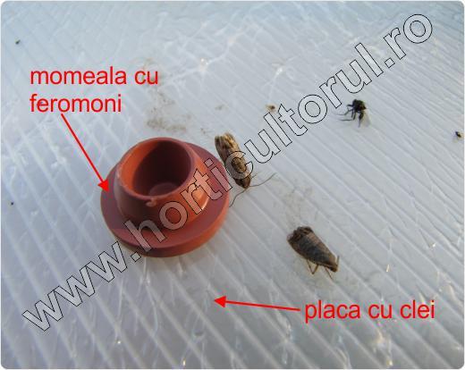atraFUN_Capcana cu feromoni_Viermele_prunului
