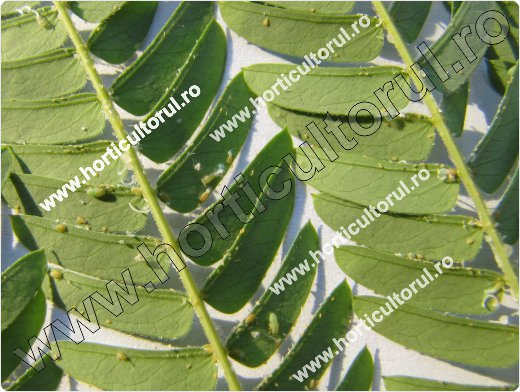 Fig. 1 Psylla de Albizia (Acizzia jamatonica)