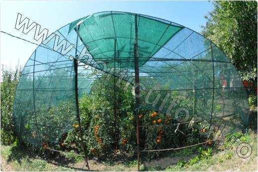 Arsura solara la Tomate